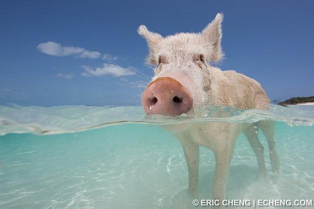 可爱小猪陪你游泳